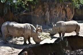 Rhinos at the Houston Zoo