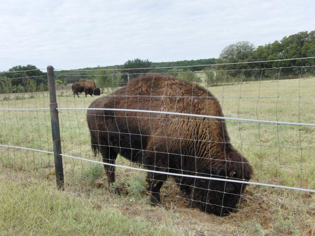 fossil rim bison