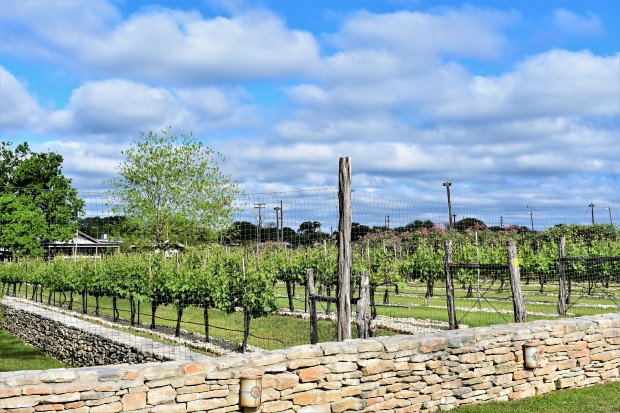 Vineyards at the Salt Lick in Driftwood Texas