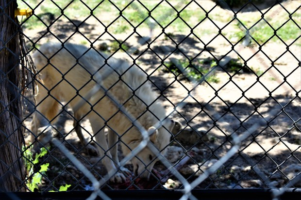 Gray Wolves at the Austin Zoo