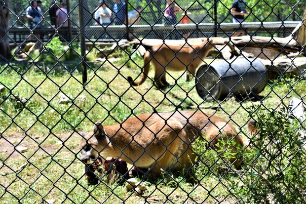 Cougar cubs at the Austin Zoo