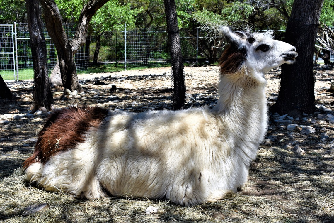 Llama at the Austin Zoo