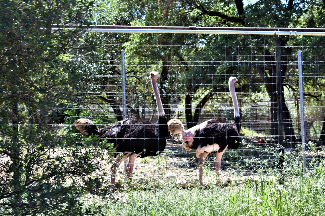 Ostrich at the Austin Zoo