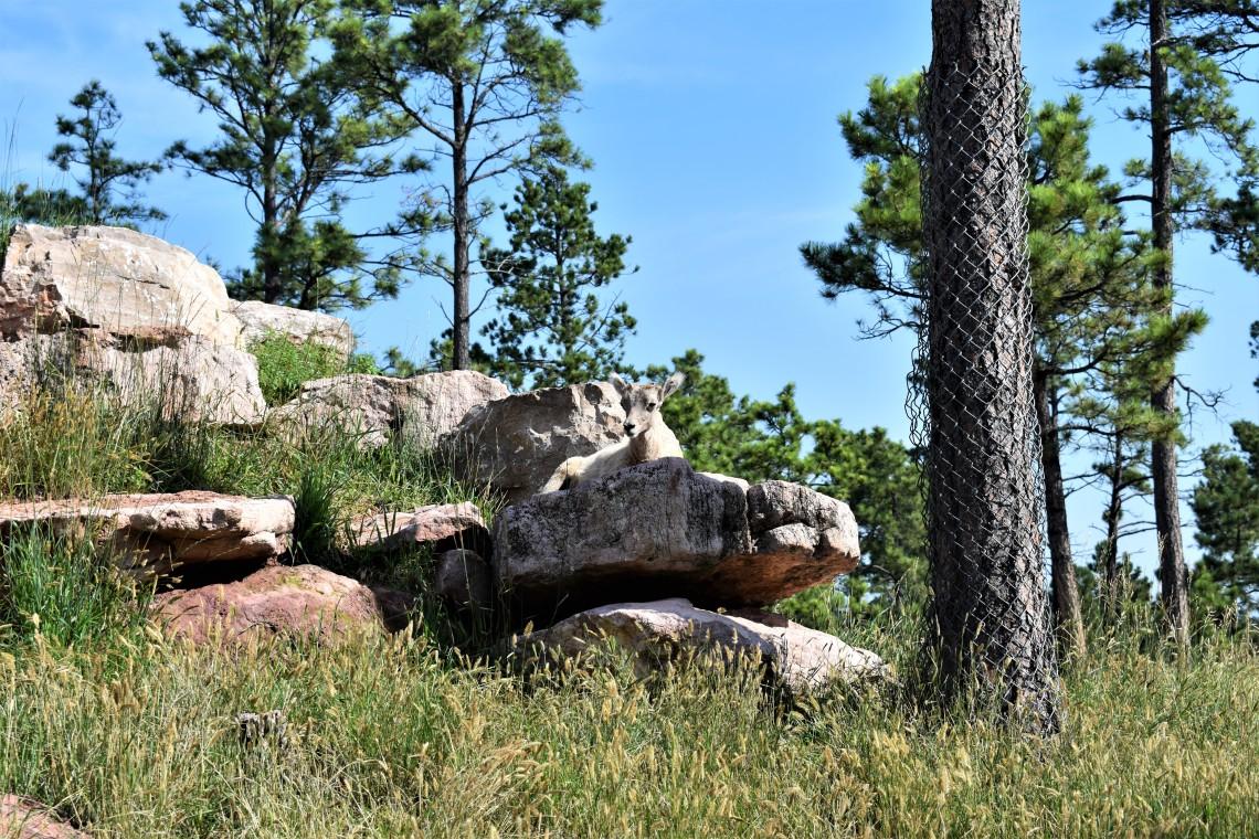 Bighorn Sheep at Bear Country U.S.A. Rapid City South Dakota