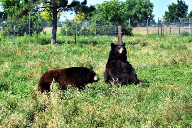 Bears at Bear Country U.S.A. Rapid City South Dakota