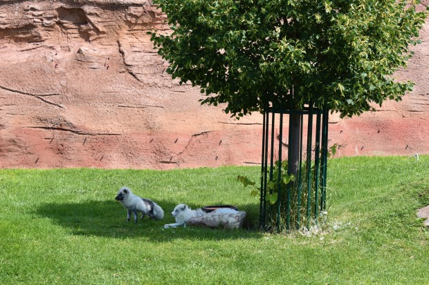 Arctic fox cubs at Bear Country U.S.A. Rapid City South Dakota