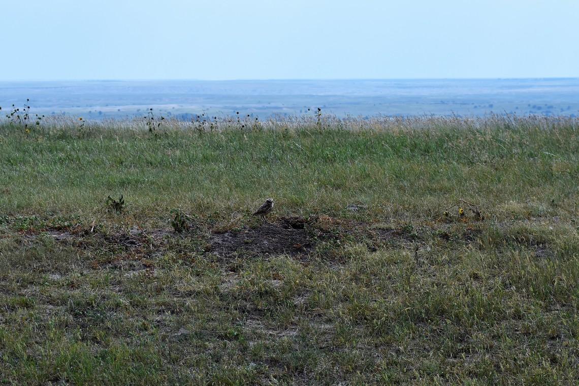 Borrowing owl at Badlands National Park South Dakota