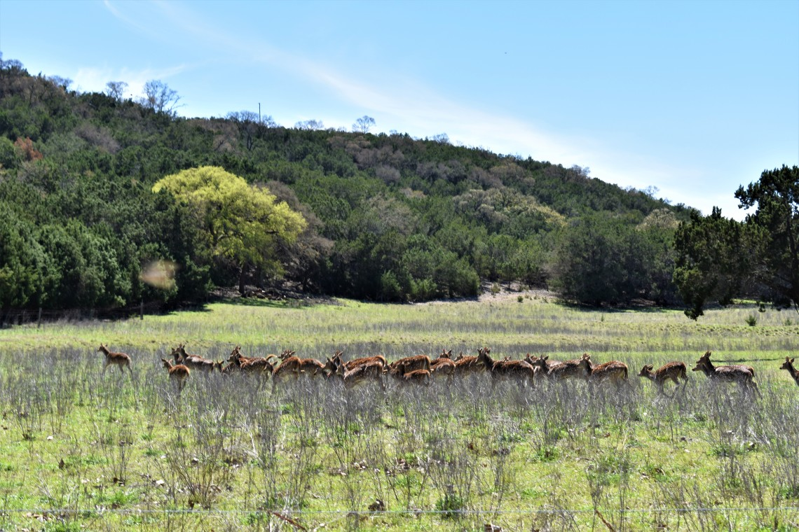 A herd of Axis Deer in Ingram Texas