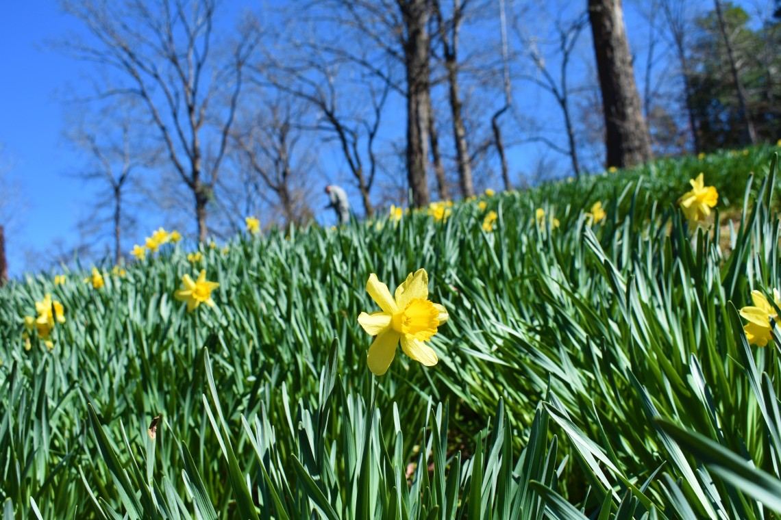 Mrs Lee's Daffodil Garden in Gladewater