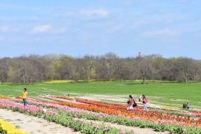 Poston Tulip Gardens in Waxahachie