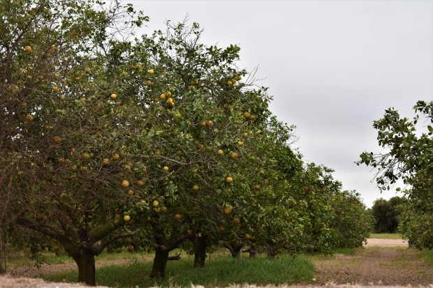 Orange orchards along the road heading to Progreso, Texas